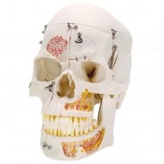 Crâne de démonstration de luxe, en 10 parties