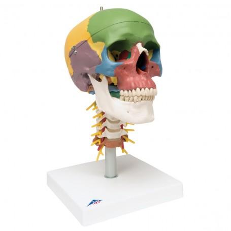 Crâne didactique sur colonne vertébrale, en 4 parties