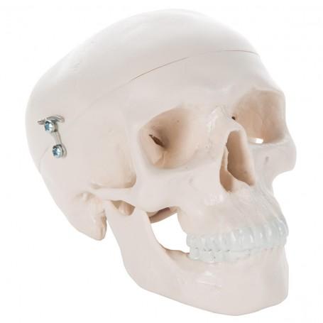 Crâne miniature, en 3 parties
