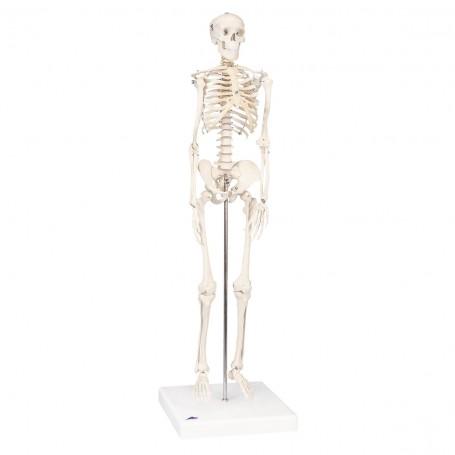 """Mini-squelette """"Shorty"""", sur socle"""