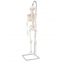 "Mini-squelette d'anatomie ""Shorty"", suspendu sur support"