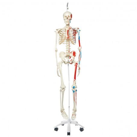 Squelette classique Max avec représentation des muscles