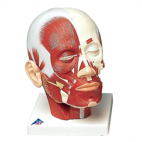 Musculature de la tête