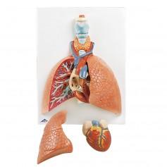 Poumon avec larynx,en 5 parties