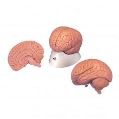 Cerveau pour débutant, en 2 parties