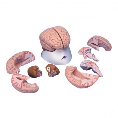 Cerveau en 8 parties