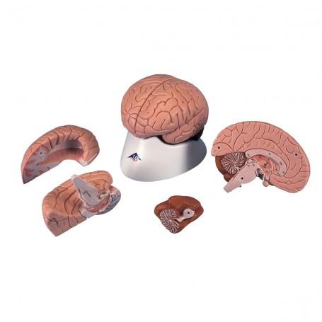 Cerveau en 4 parties