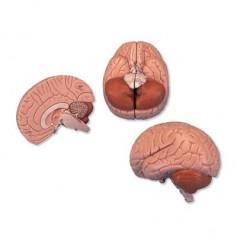 Cerveau en 2 parties