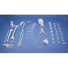 Demi-squelette, démonté