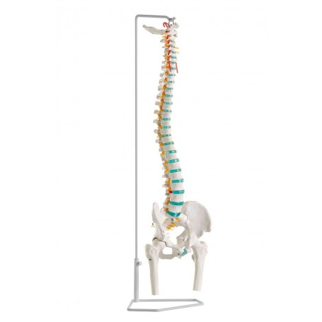 Colonne vertébrale flexible avec des têtes de fémur