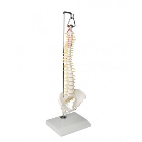Colonne vertébrale miniature sur le Stand suspendus