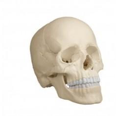Crâne articulé erler und zimmer blanc 22 pièces