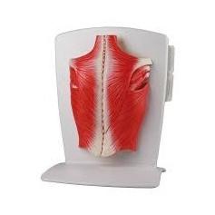 Modèle de muscle en 4 parties