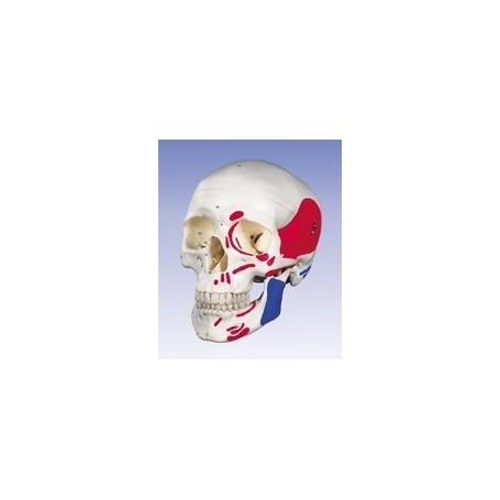 Crâne classique, peint, en 3 parties