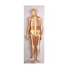 Système nerveux 1/2 taille de la vie
