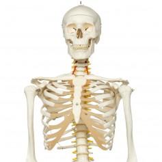 Squelette de luxe Fred, sur support à 5 roulettes