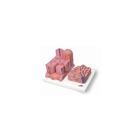Foie 3B MICROanatomy™