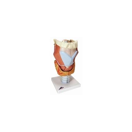 Larynx, agrandi 2 fois, en 7 parties