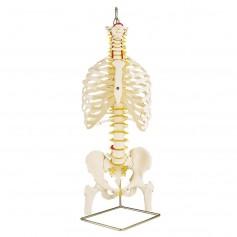 Colonne vertébrale classique flexible avec thorax et moignon