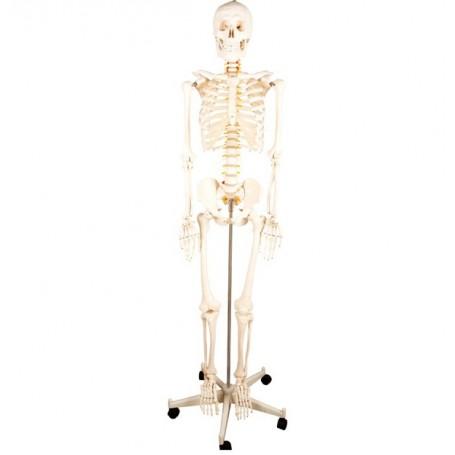 Squelette anatomique ecopro