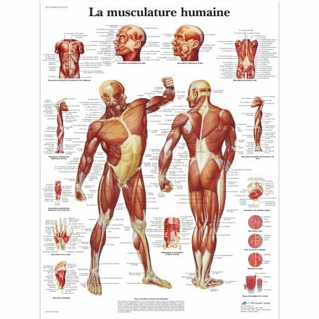 La musculature