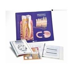 Modèle pratique d'instruction illustrant les dents