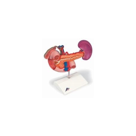 Organes postérieurs de l'épigastre