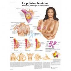 Planche Anatomique: La poitrine féminine