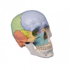 Crâne didactique 3 parties Erler Zimmer 4508