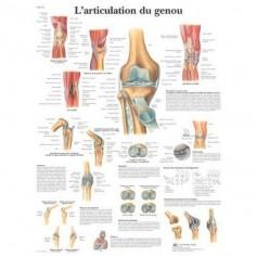 Poster anatomique : Articulation du genou