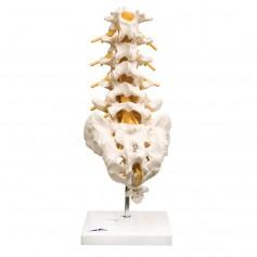 Colonne vertébrale lombaire