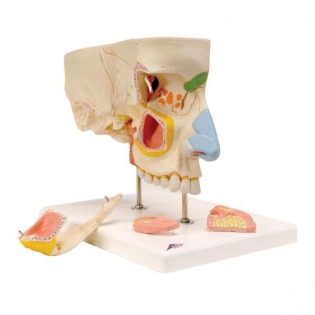 Nez en 5 parties avec sinus paranasaux