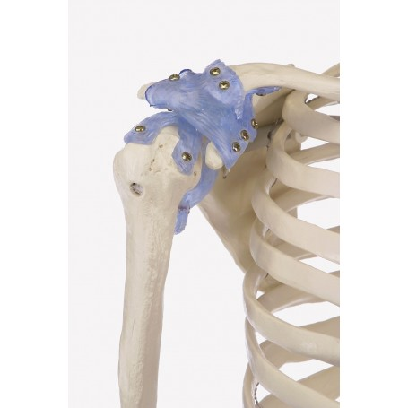 Squelette anatoique OTTO avec ligaments Erler Zimmer