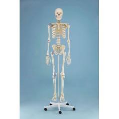 Squelette anatomique OTTO avec ligaments Erler Zimmer