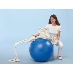 Squelette humain Hugo Erler Zimmer