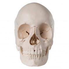 Crâne articulé 3B Scientific - version anatomique, 22 pièces