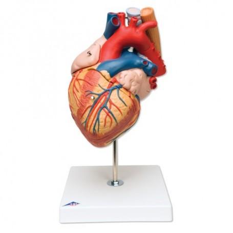 Coeur avec trachée et oesophage agrandi 2 fois, en 5 parties