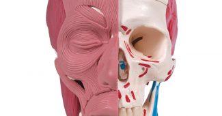 crâne didactique