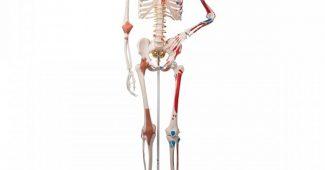 squelette humain sam