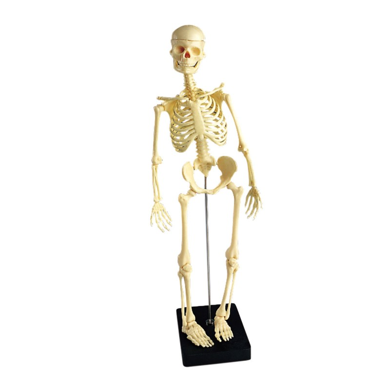squelette médical