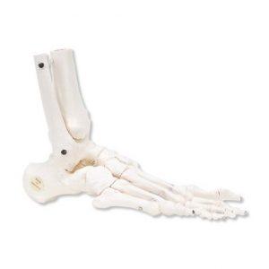 squelette du pied