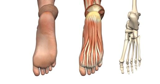 Anatomie Pied anatomie : squelette du pied