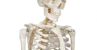 squelettes anatomiques