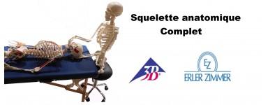 Squelette anatomique humain