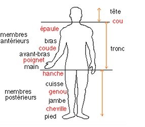 structure du corps humain
